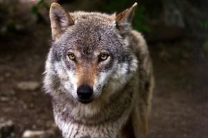 Loup tirs de loups imposture