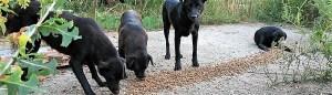 Chiens de Roumanie - chiens communautaires