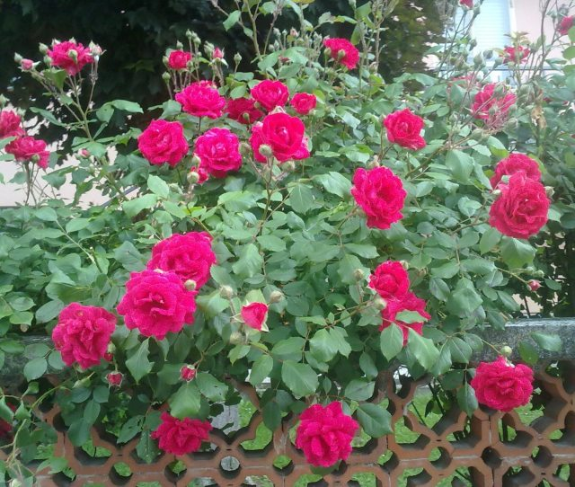 Picture Roses Plant