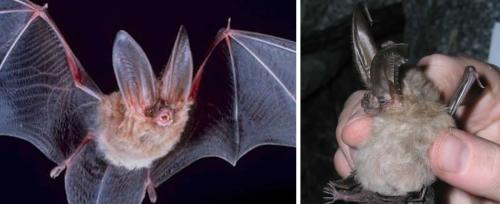 Virginia Big-Eared Bats have two large glandular lumps on the sides of their nose.
