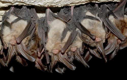 Virginia Big-Eared Bats may live alone or in groups from a few dozen to hundreds of bats.