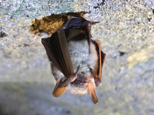 Tri Color Bat - Linville Caverns – The Underground World of Caves