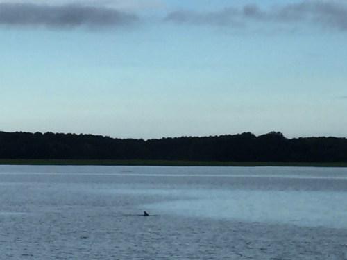 Dolphin in Skull Creek, between Pinckney Island and Hilton Head Island