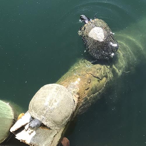 Two adult Yellow-bellied Slider Turtles – Hilton Head Island