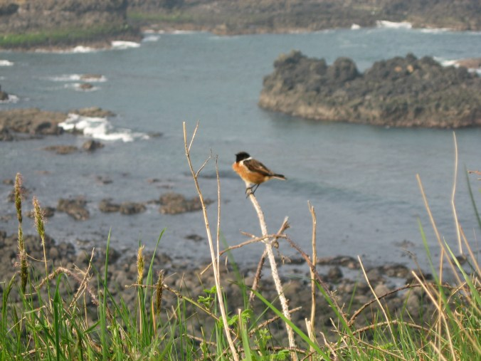 Birdwatchers were photographing this little guy at Giant's Causeway, so I did too. I don't know what he is.