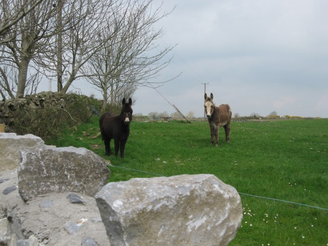 Donkeys, farm near Ardrahan, County Galway