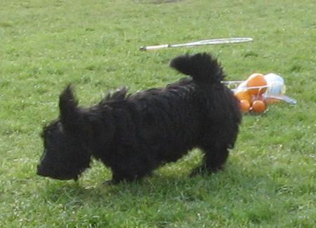A little Scottie dog ran off with the ball playing Rounders in a Dublin park