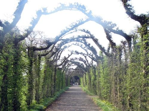 Cloistered walk of hornbeam, a flowering birch at Birr Castle Gardens