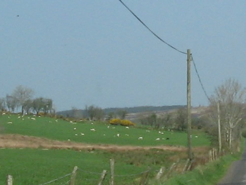 Beautiful sheep in a lush green field, Ireland