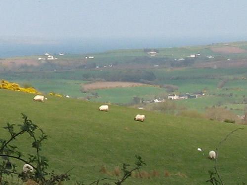 Sheep! North Ireland