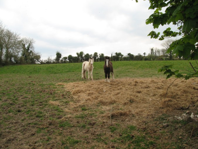 Small Irish horses or ponies.