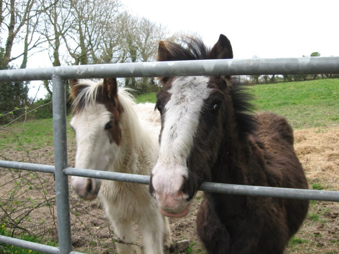 Small Irish horses or ponies.