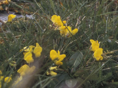 Bird's-foot Trefoil Flowers in the Burren Photo by Jerzy Strzelecki - Plants and Flowers of the Burren - A Different Visit to Ireland