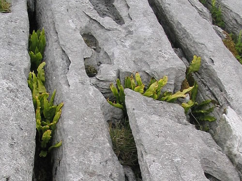 Grikes: Cracks in the Burren Limestone Pavements Photo by Barry Caruth - Plants and Flowers of the Burren - A Different Visit to Ireland