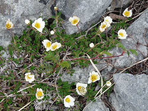 Mountain Avens Flowers in the Burren Photo by Michael Clarke - Plants and Flowers of the Burren - A Different Visit to Ireland Photo by Dusi BBG