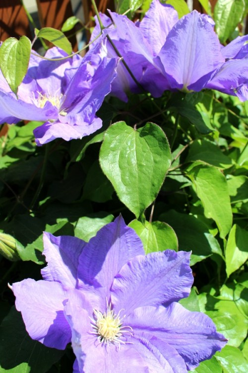 This fabulous purple clematis is H.F. Young. It is Group 2. It has huge flowers that last for weeks.