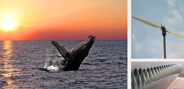 A nadadeira das baleias jubarte tem uma aerodinâmica especial que faz com ela faça curvas fechadas e perfeitas mesmo em alta velocidade! Os estudos podem ser aplicados na produção de energia eólica, ventiladores mais eficientes e até mesmo na aviação.
