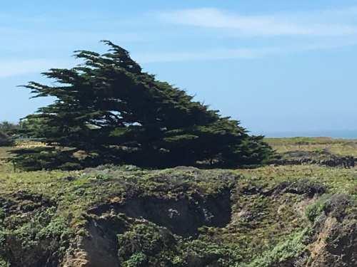 Wind swept Tree on Half Moon Bay Coast line