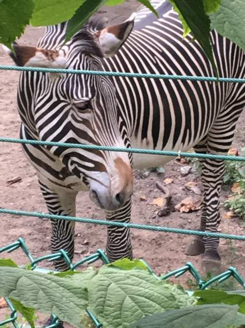 a zebra at the Lincoln Park Zoo
