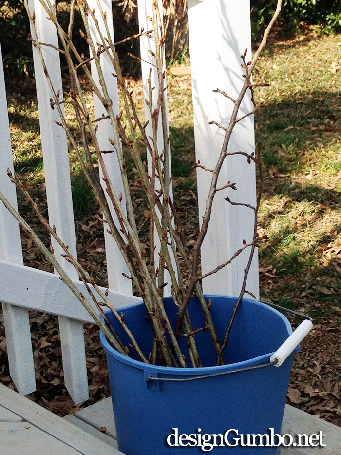 Cherry Tree Branches waiting to be forced