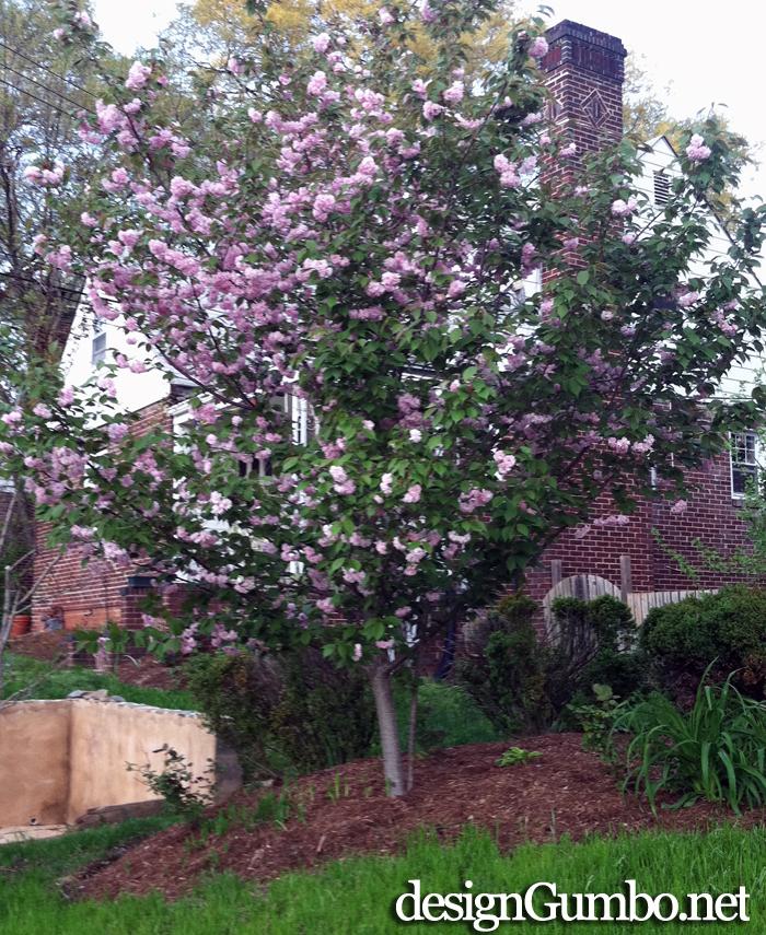 Kwanzan Cherry Tree 2013