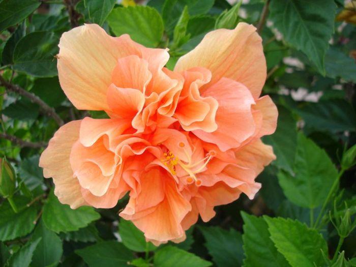 Double Peach hibiscus