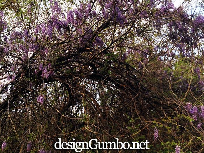 Tunnel of wisteria vines