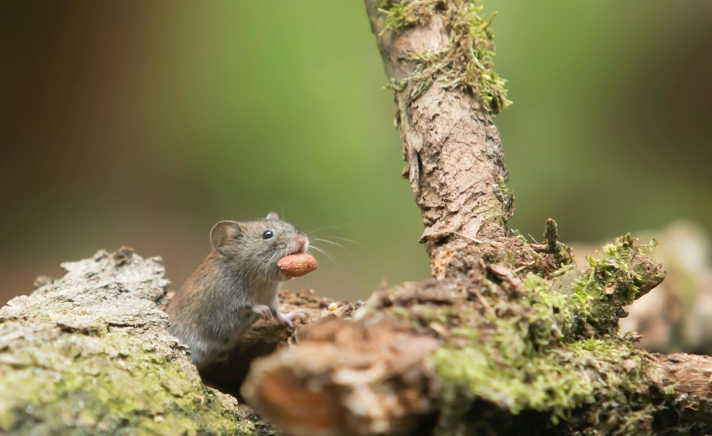 Easy Safety Measures To Take Before Rat Pest Control At Home