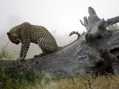 Leopard, South Africa Photography