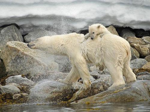 Polar Bear and Cub, Svalbard Photography