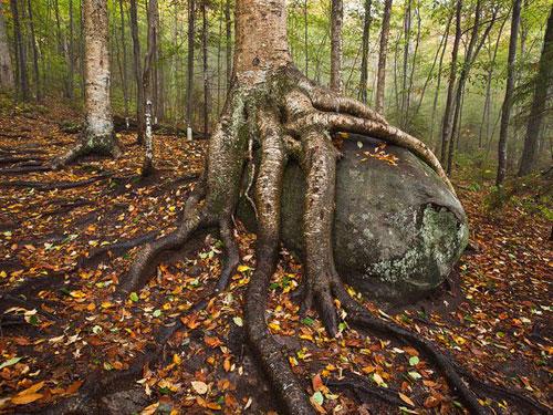 Yellow Birch, Adirondacks Photography