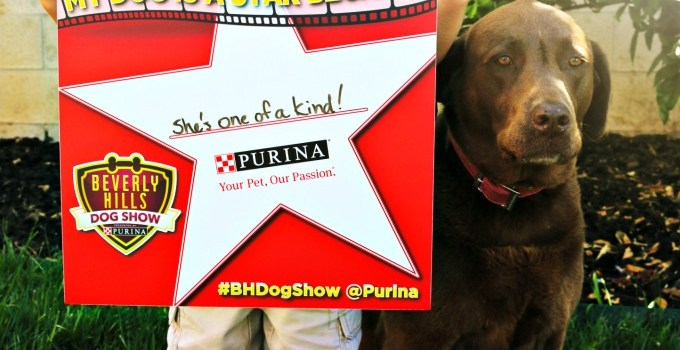 Hershey The Chocolate Lab Is The Star In Our Family Just Like The Stars of The Beverly Hills Dog Show Presented by Purina #BHDogShow