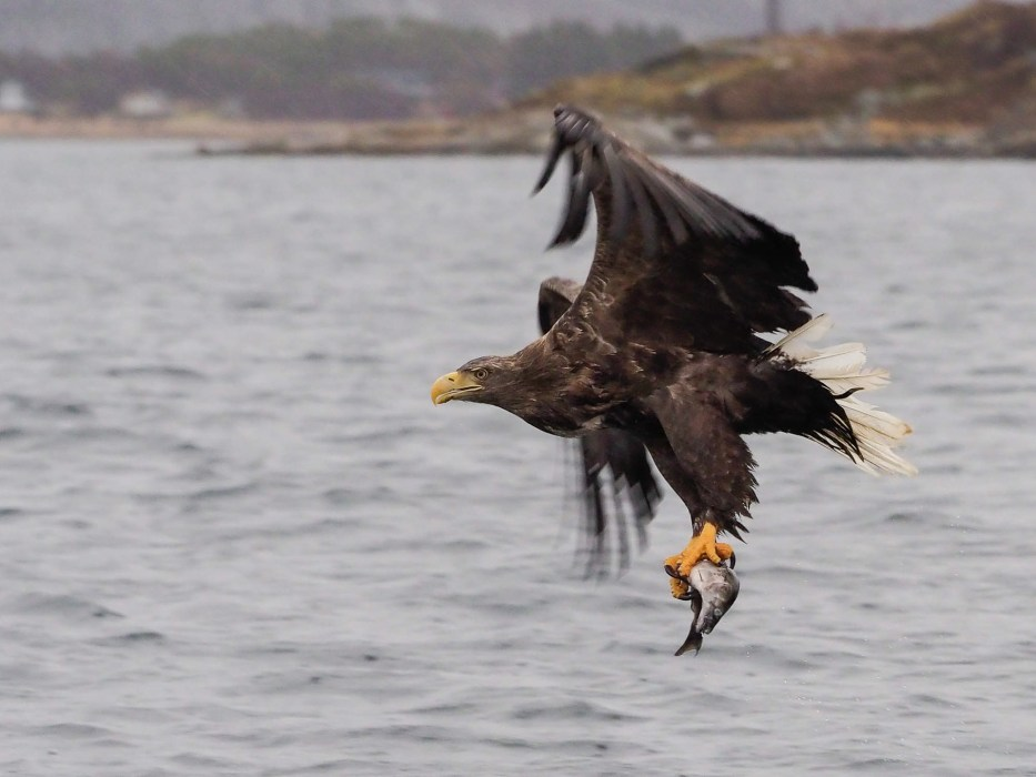 Flatanger, Norway, Eagle, sea, sky, nature,