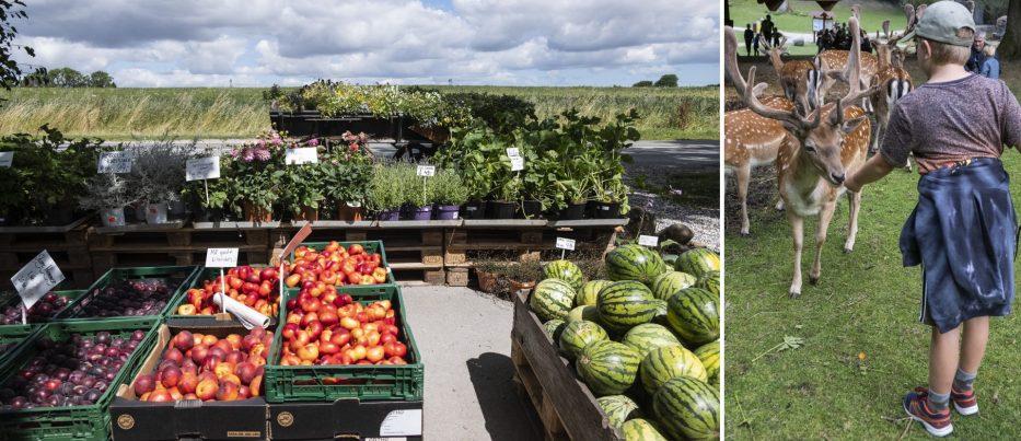 Fruit veggies and feeding a deer in Denmark