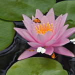 Water Lily  Animated Wallpaper
