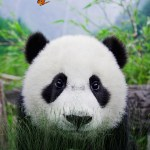 Cute Panda Animated Wallpaper