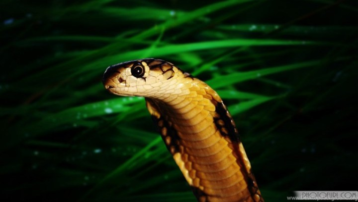 Preview Wallpaper Snake Tongue Scales Venomous Source King Cobra Hd Pictures Many HD
