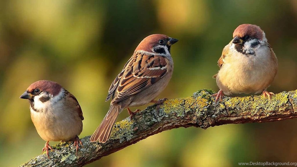 Beautiful Sparrow Bird Wallpapers Free Full Hd Wallpapers For Desktop Background