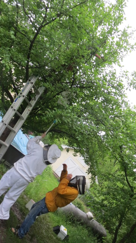 des moines backyard beekeepers swarm capture tree