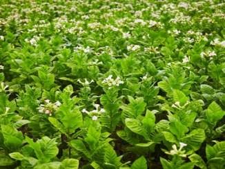 En el 2030 República Dominicana cumplirá 500 años de experiencia en la siembra de tabaco para comercialización.