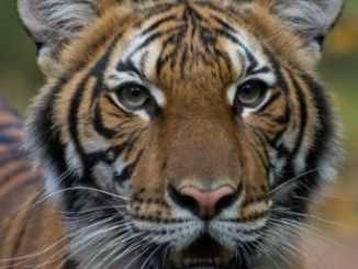 Naida, la tigresa del zoo del Bronx, en Nueva York, a la que se le ha detectado el coronavirus