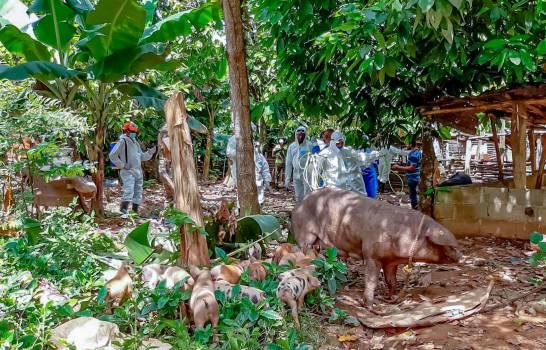 Las autoridades eliminan cerdos en La Vega y hoy se trasladan a Dajabón