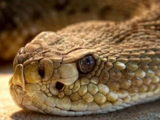 Científicos brasileños han descubierto una sustancia capaz de prevenir la reproducción del virus que transmite COVID-19 en el cuerpo, que está presente en el veneno de las serpientes yararacusú