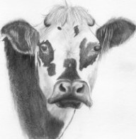 vache normande