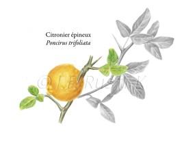 citronierepineux