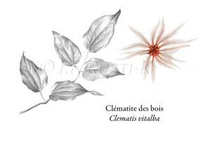 clematite