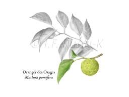 orangerdesosages