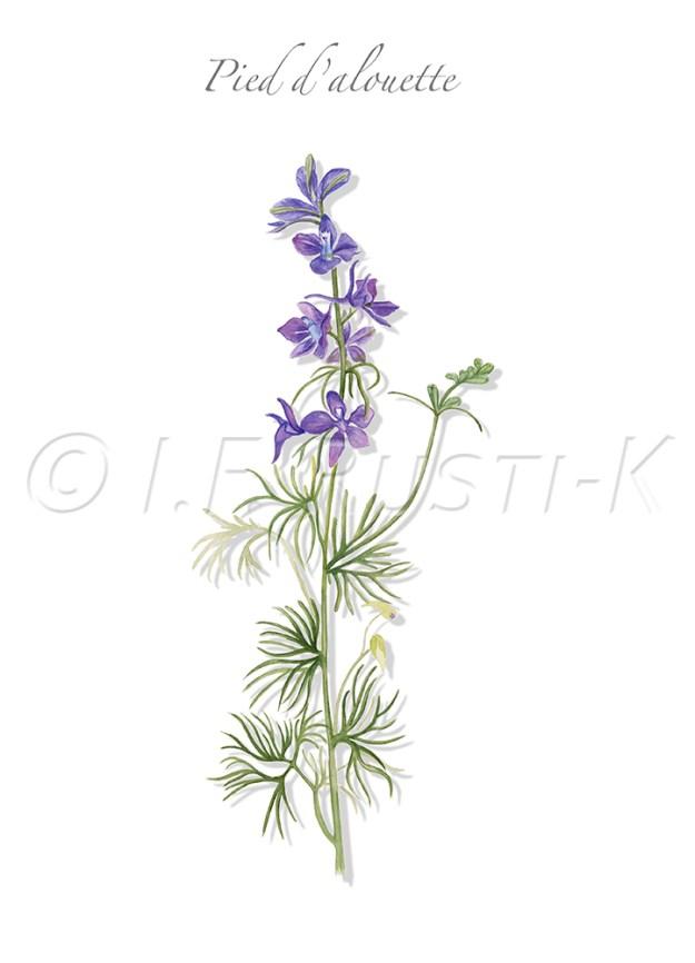 plante messicole; renonculacées; dauphinelle consoude; dauphinelle des champs; dauphinelle royale; Pied d'alouette royal
