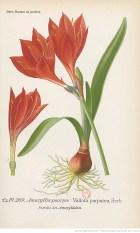 planche illustrée d'un Amaryllis pourpre