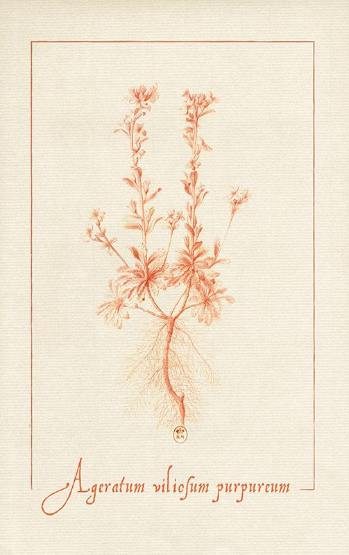 dessin à la sanguine d'un ageratum